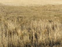 Free Golden Winter Reed Field Stock Images - 5349984