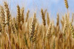 Spikes of golden ripe wheat on a blue sky background. Golden winter wheat field in sunlight close up, shallow depth of field. Agriculture, agronomy and farming Stock Image