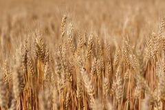 Field with spikes of ripe wheat background. Golden winter wheat field in sunlight closeup, shallow depth of field. Agriculture, agronomy and farming background Stock Photography
