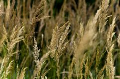 Golden Winter Wheat in the Wind Stock Photography