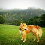 Golden wolf stock photography
