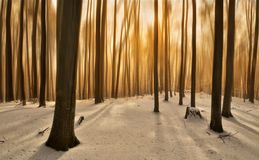 Golden Wood. February beech forest in the last rays of the sun Royalty Free Stock Image