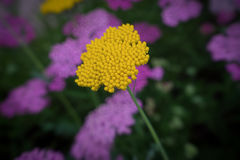 Golden Yarrow Stock Images