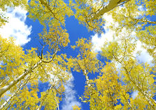 Golden Yellow Aspen in the Fall with Blue sky Royalty Free Stock Images