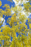 Golden Yellow Aspen in the Fall with Blue sky Stock Image