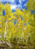 Golden Yellow Aspen in the Fall with Blue sky Royalty Free Stock Photos