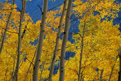 Golden yellow aspen trees Stock Images