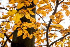 Golden yellow autumn beech leaves on a tree Royalty Free Stock Image