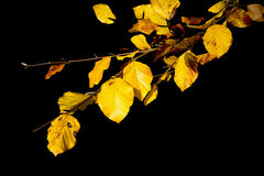 Golden yellow autumn fall leaves