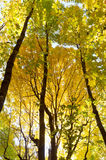 Golden Yellow of Autumn Forest Canopy Stock Photos
