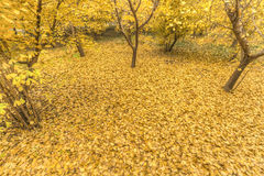 Golden yellow. In autumn, the ginkgo tree golden yellow leaves fall to the ground stock image
