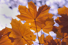 Golden Yellow Autumn Leaves Stock Images