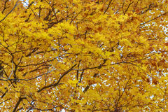 Golden Yellow Autumn Leaves Stock Image