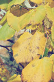 Golden yellow autumn leaves on the tree, on a sunny day Stock Image