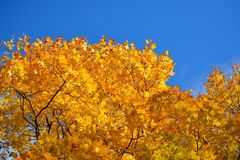 Golden yellow autumn tree lit by the sun against the blue sky. Parks and urban landscape Stock Photo