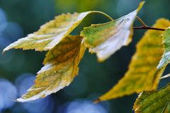 Golden yellow birch leaves. Fall season, rainy day, selective focus golden birch leaves create abstract, impressionistic autumn color background Stock Photo