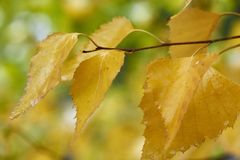 Golden yellow birch leaves Stock Photography