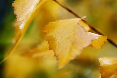 Golden yellow birch leaves Royalty Free Stock Photos