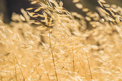 Golden Yellow California Grasses Royalty Free Stock Photo