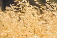 Golden Yellow California Grasses Royalty Free Stock Photo