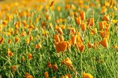 Golden yellow California poppy meadow in Hokkaido. Golden yellow California poppy meadow in Furano, Hokkaido stock photos