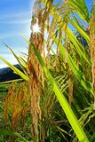 Rice spike. Golden yellow color spike of rice are ripening in the rice field in Fujian province, China Stock Photography