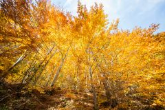 Golden yellow colored autumn forest in Apuseni Natural Park, Arieseni, Romania Royalty Free Stock Photos