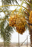 Golden yellow dates growing and hanging off Date Palm IN DUABI,UAE on 26 JUNE 2017 Stock Image