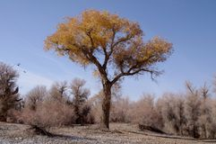 The golden yellow diversifolious poplar Royalty Free Stock Photography