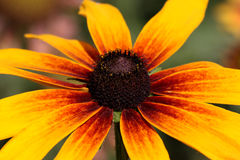 Golden yellow echinacea Royalty Free Stock Photo