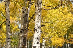 Golden yellow Fall leaves of the Aspen tree Stock Photos