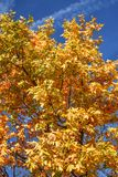 Golden Yellow Fall Tree With Blue Sky Abstract Stock Photo