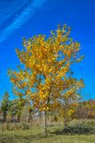 Golden Yellow Fall Tree With Blue Sky Stock Photos