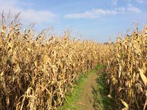 Golden yellow farm corn field path. Farm cornfield with dirt path in grass with blue sky. Dry harvest in the fall late summer Royalty Free Stock Photos