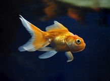 Golden yellow fish sweaming away rocks view from right side Royalty Free Stock Photo