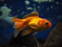 Golden yellow fish underwater sweaming away near rocks view Stock Images