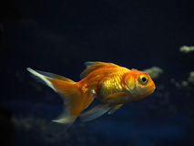 Golden yellow fish underwater sweaming away near rocks view from Stock Images