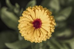 Golden yellow flower royalty free stock image
