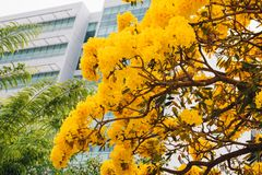 Golden yellow flower blossom tree blossom Royalty Free Stock Photography
