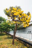 Golden yellow flower blossom tree blossom Royalty Free Stock Photos