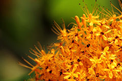 Golden yellow flowers stock photography