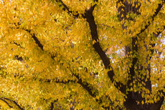 Golden yellow ginkgo trees during autumn season Stock Photo