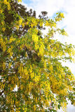 Golden yellow Golden Rain tree Royalty Free Stock Photos