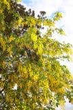 Golden yellow Golden Rain tree Royalty Free Stock Photos