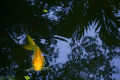 """A golden yellow """"Good Luck"""" koi carp peeking above the water, in a lovely Thai park. royalty free stock image"""
