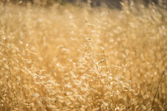 Golden Yellow Grassland Royalty Free Stock Photography