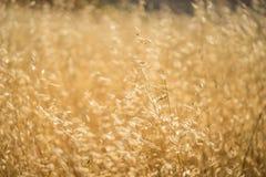 Golden Yellow Grassland Royalty Free Stock Photography