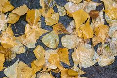 Golden yellow and green birch leaves Royalty Free Stock Photo