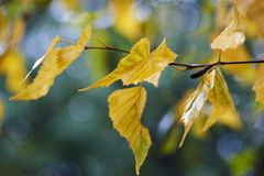 Golden yellow and green birch leaves Stock Image