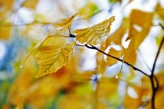 Golden yellow and green birch leaves Stock Photography